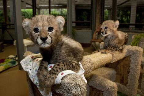 Cheetah cub san diego zoo 3