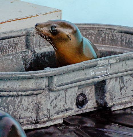 Baby sea lion pup in bucket mystic aquarium 1
