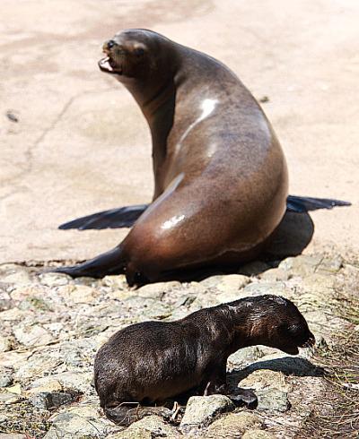 Baby sea lion pup belfast zoo 3 a
