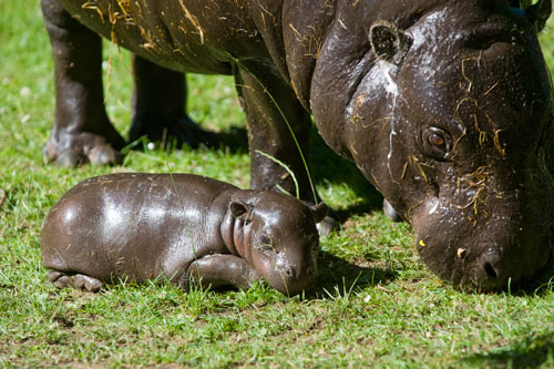 BabyPygmyHippo2EZ