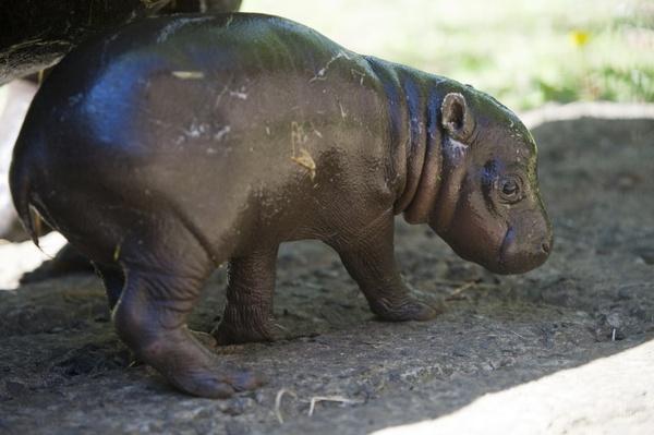 BabyPygmyHippoEZ