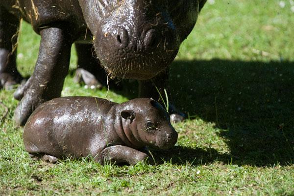 Pygmy-hippo-baby-2