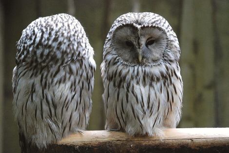 Adult ural owls