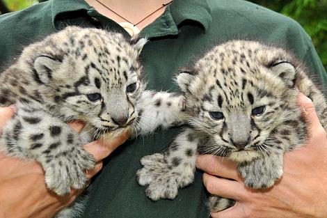 Snow leopard cubs toronto 1