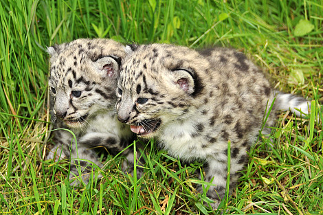 Snow leopard cubs toronto 3 rs