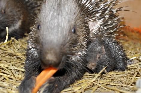 Baby porcupine zoo basel 2