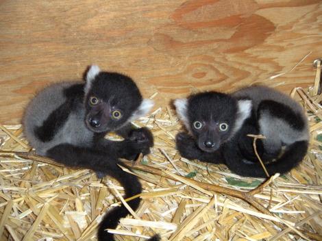 Baby lemur detroit zoo1 rs