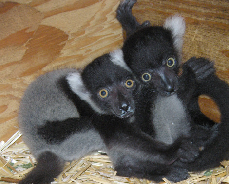 Baby lemur detroit zoo 2 rs