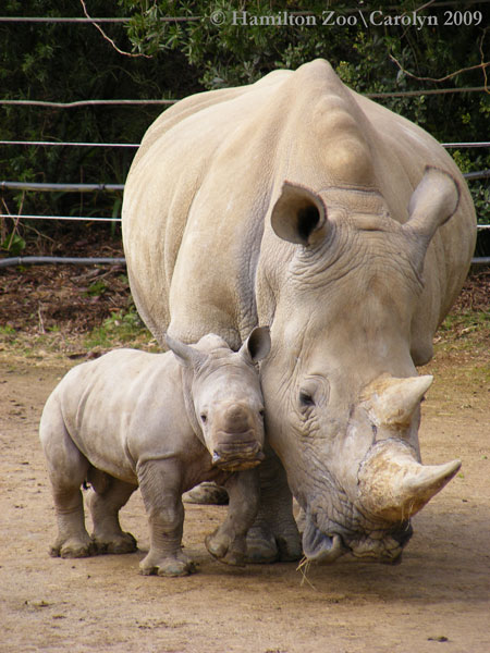 Rhino-5-6-weeks