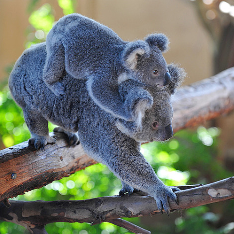 Koala joey sooky and mom kobi san diego 3