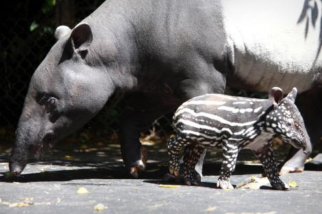 Baby tapir calf dublin zoo 2 rs