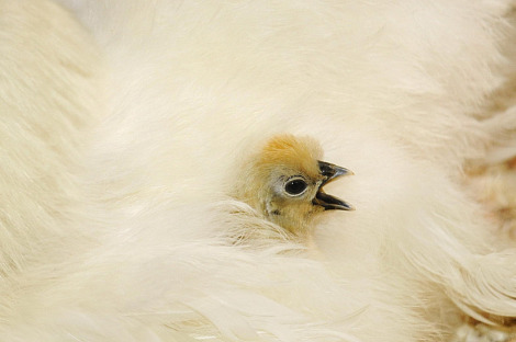 Silkie chicken chick zoo basel 1 closeup