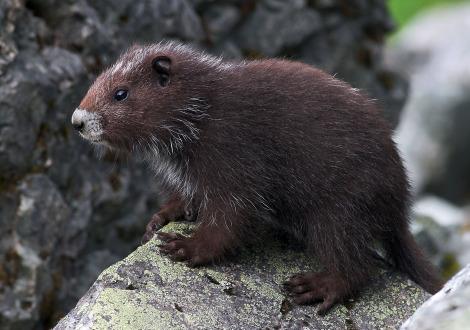 Vancouver island marmot calgary zoo