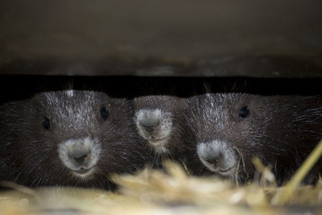Three little marmots noses