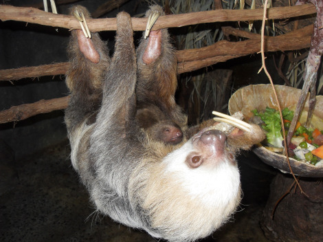 Baby sloth philadelphia zoo 1 rs