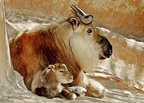 Sichuan Takin LA Zoo