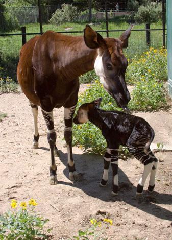 Okapi_calf_7020l_dp