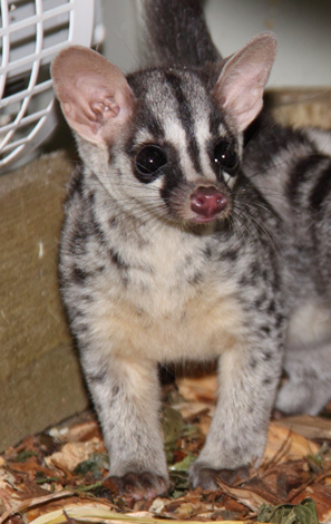 Owstons-Civet-Baby-by-Michelle-Turton