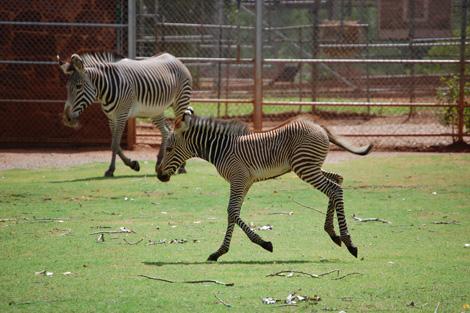 Skipping Zebra Baby