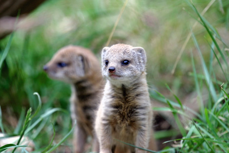 Mongoose-twins-2