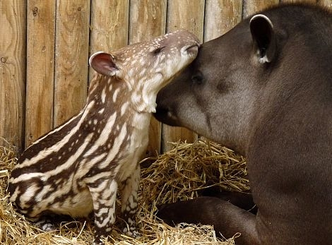 Brazilian tapir and mum rs