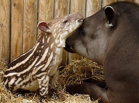 Brazilian tapir and mum rs