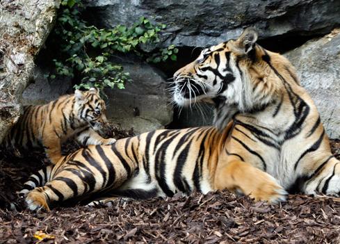 Baby-tigers-dublin-zoo-1_05