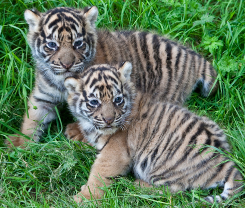 Baby-tigers-dublin-zoo-1_01