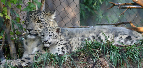 Baby snow leopard hogle zoo 3