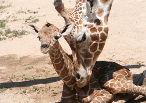 Baby giraffe hogle zoo 2