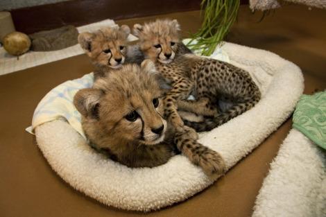 Cheetah cub san diego zoo 2