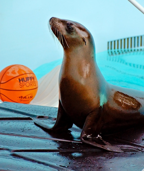 Baby sea lion pup in bucket mystic aquarium 2