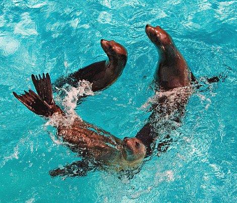 Three baby sea lions at aquarium