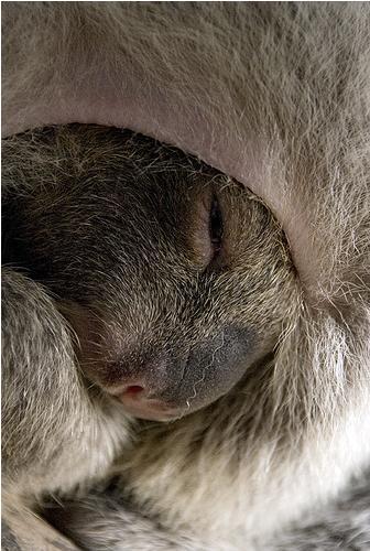 Baby koala joey in pouch 3b
