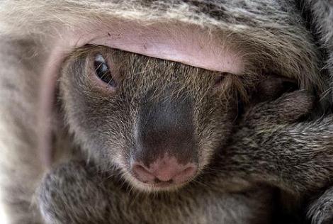 Baby koala joey in pouch 4b
