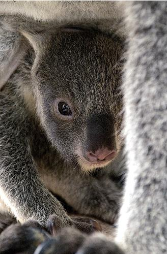 Baby koala joey in pouch 5
