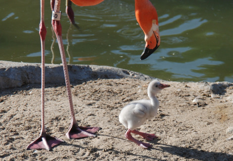 Flamingo chick san diego zoo 3 rs