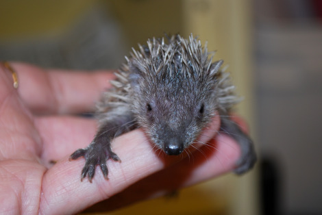 Tenrec baby potter park zoo 1 rs