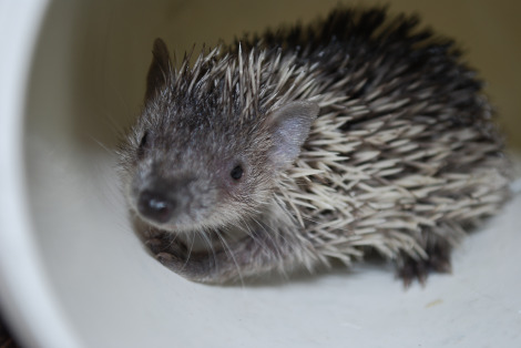 Tenrec baby potter park zoo 3 rs