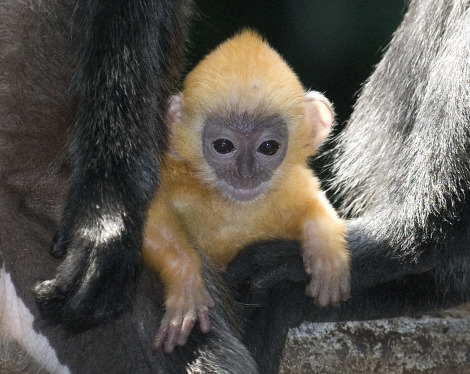 Silvery langur baby columbus zoo 1 rs