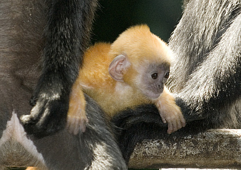 Silvery langur baby columbus zoo 3 rs