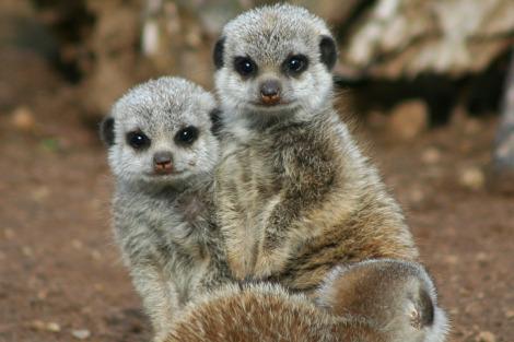 Baby meerkats belfast zoo rs1