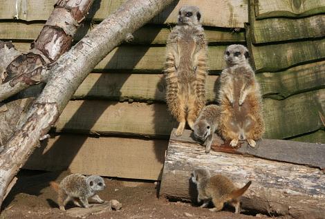 Baby meerkats belfast zoo 3 rs1