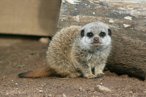 Baby meerkats belfast zoo 4 rs