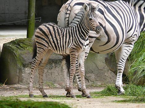 Baby zebra antwerp 3