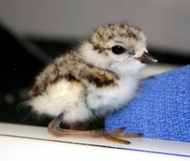 Piping plover chick 1