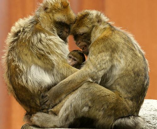 Baby barbary macaque apenheul 3