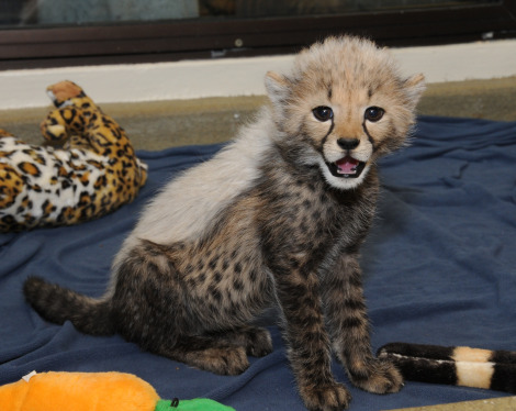 Nia Cheetah Cub Cincinnati Zoo 1 rs