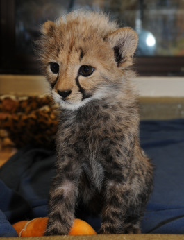Nia cheetah cub cincinnati zoo 3 rs
