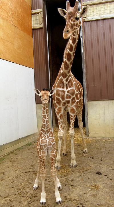 Baby giraffe calf binder park zoo 1